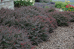 Crimson Pygmy Japanese Barberry (Berberis thunbergii 'Crimson Pygmy') at Martin's Home and Garden