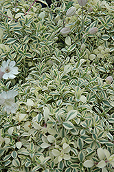 Druett's Variegated Campion (Silene uniflora 'Druett's Variegated') at Martin's Home & Garden