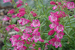 Red Rocks Beard Tongue (Penstemon x mexicali 'Red Rocks') at Martin's Home and Garden