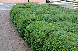 Chicagoland Green Boxwood (Buxus 'Glencoe') at Martin's Home & Garden