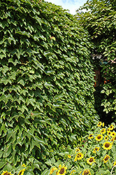 Boston Ivy (Parthenocissus tricuspidata) at Martin's Home and Garden