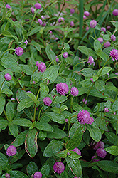 Globe Amaranth (Gomphrena globosa) at Martin's Home and Garden
