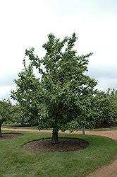 20th Century Pear (Pyrus pyrifolia 'Nijisseiki') at Martin's Home & Garden