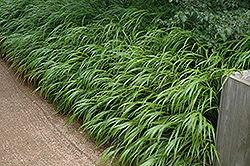 Japanese Woodland Grass (Hakonechloa macra) at Martin's Home and Garden