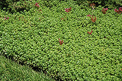 John Creech Stonecrop (Sedum spurium 'John Creech') at Martin's Home and Garden