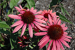 Big Sky Twilight Coneflower (Echinacea 'Big Sky Twilight') at Martin's Home and Garden