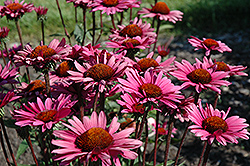 Fatal Attraction Coneflower (Echinacea purpurea 'Fatal Attraction') at Martin's Home and Garden