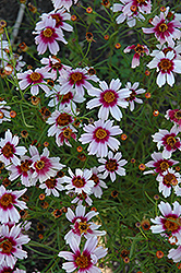 Sweet Dreams Tickseed (Coreopsis rosea 'Sweet Dreams') at Martin's Home and Garden