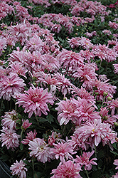 Prairie Lavender Chrysanthemum (Chrysanthemum 'Prairie Lavender') at Martin's Home and Garden