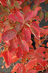 Autumn Brilliance Serviceberry (Amelanchier x grandiflora 'Autumn Brilliance') at Martin's Home & Garden