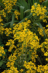 Citrona Yellow Wallflower (Erysimum 'Citrona Yellow') at Martin's Home and Garden