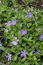 Common Periwinkle (Vinca minor) at Martin's Home and Garden