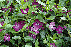 Burgundy Periwinkle (Vinca minor 'Atropurpurea') at Martin's Home and Garden