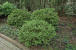 Wintergreen Boxwood (Buxus microphylla 'Wintergreen') at Martin's Home and Garden