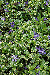 Ralph Shugert Periwinkle (Vinca minor 'Ralph Shugert') at Martin's Home and Garden