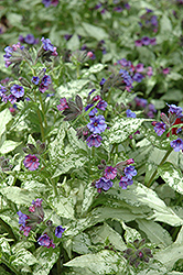 Diane Clare Lungwort (Pulmonaria longifolia 'Diana Clare') at Martin's Home and Garden