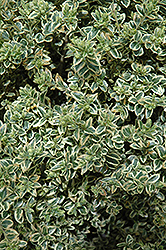 Variegated Boxwood (Buxus sempervirens 'Variegata') at Martin's Home and Garden