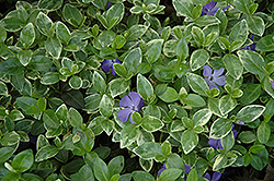 Sterling Silver Periwinkle (Vinca minor 'Sterling Silver') at Martin's Home & Garden