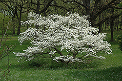 Cherokee Princess Flowering Dogwood (Cornus florida 'Cherokee Princess') at Martin's Home and Garden