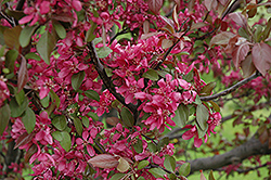 Profusion Flowering Crab (Malus 'Profusion') at Martin's Home and Garden