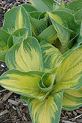 Great Expectations Hosta (Hosta 'Great Expectations') at Martin's Home & Garden