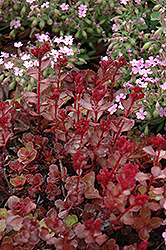 Red Carpet Stonecrop (Sedum spurium 'Red Carpet') at Martin's Home and Garden