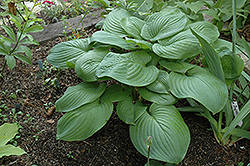 Fried Green Tomatoes Hosta (Hosta 'Fried Green Tomatoes') at Martin's Home and Garden