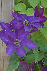 The President Clematis (Clematis 'The President') at Martin's Home and Garden