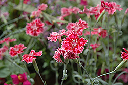Strawberry Sorbet Pinks (Dianthus 'Strawberry Sorbet') at Martin's Home & Garden