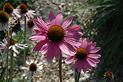 Tennessee Coneflower (Echinacea tennesseensis) at Martin's Home and Garden