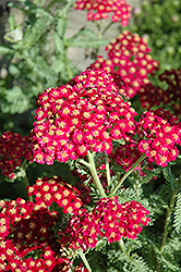 Red Velvet Yarrow (Achillea millefolium 'Red Velvet') at Martin's Home and Garden