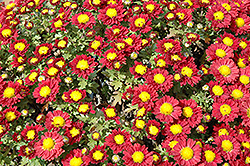 Red Daisy Chrysanthemum (Chrysanthemum 'Red Daisy') at Martin's Home & Garden