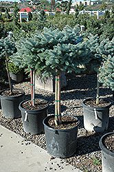 Globe Blue Spruce (tree form) (Picea pungens 'Globosa (tree form)') at Martin's Home & Garden