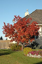 Tatarian Maple (Acer tataricum) at Martin's Home and Garden