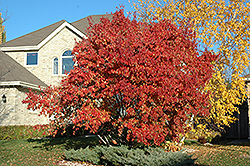 Red Rhapsody Amur Maple (Acer ginnala 'Mondy') at Martin's Home and Garden