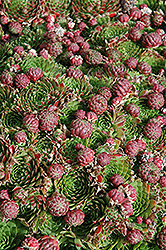 Red Hens And Chicks (Sempervivum 'Red') at Martin's Home and Garden