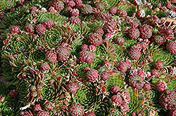 Red Beauty Hens And Chicks (Sempervivum 'Red Beauty') at Martin's Home & Garden