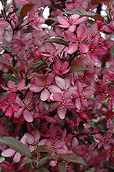 Royal Raindrops Flowering Crab (Malus 'Royal Raindrops') at Martin's Home and Garden