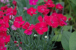 Neon Star Pinks (Dianthus 'Neon Star') at Martin's Home and Garden