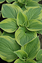 Wide Brim Hosta (Hosta 'Wide Brim') at Martin's Home & Garden