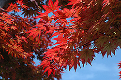 Oshio Beni Japanese Maple (Acer palmatum 'Oshio Beni') at Martin's Home and Garden