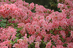 L.C. Fisher Azalea (Rhododendron 'L.C. Fisher') at Martin's Home and Garden