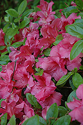 Robert Hyatt Azalea (Rhododendron 'Robert Hyatt') at Martin's Home & Garden