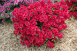 Hershey's Red Azalea (Rhododendron 'Hershey's Red') at Martin's Home & Garden