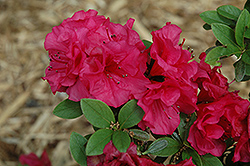 Jeremiah Azalea (Rhododendron 'Jeremiah') at Martin's Home and Garden
