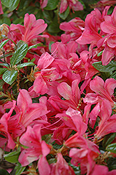 Scarlet Frost Azalea (Rhododendron 'Scarlet Frost') at Martin's Home and Garden
