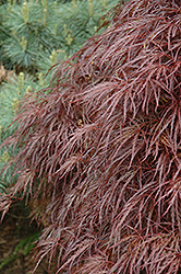 Red Select Cutleaf Japanese Maple (Acer palmatum 'Dissectum Red Select') at Martin's Home & Garden