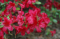 Red Red Azalea (Rhododendron 'Red Red') at Martin's Home and Garden