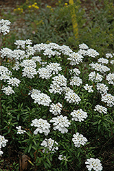 Purity Candytuft (Iberis sempervirens 'Purity') at Martin's Home & Garden