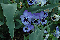 Matrix Blue Frost Pansy (Viola 'Matrix Blue Frost') at Martin's Home & Garden